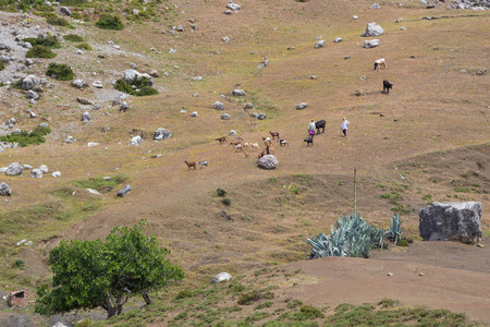 Shepherds watch their herd of goats and cows on a hill high above the blue painted village of Chefchaouen, Morocco  Редакционное