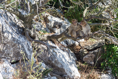 Barbary macaques  apes  grooming one another near the summit on the Rock of Gibraltar  Stok Fotoğraf