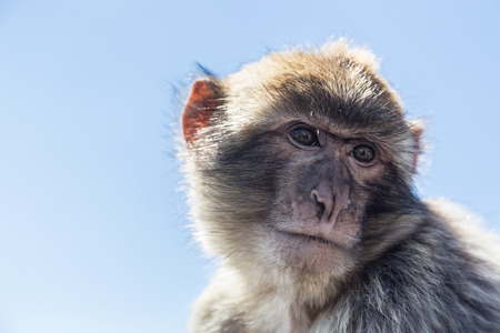 A Barbary macaque, resident of the rock of Gibraltar, near the summit  Stock Photo