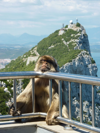 A Barbary macaque rests on the guard railing over a sheer cliff at the summit of the rock of Gibraltar  Reklamní fotografie