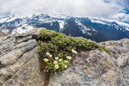 Alpine daisies at the peak Mt  Freemont looking toward Mt  Rainier, Washington Stock Photo