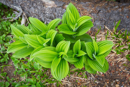 Indian Hellebore on the edge of a mountain meadow on the north side of Mt  Rainier National Park, Washington Stock Photo