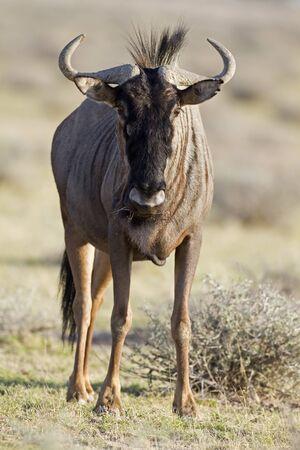 taurinus: Close-up of Blue Wildebeest; Connochaetes taurinus; South Africa Stock Photo