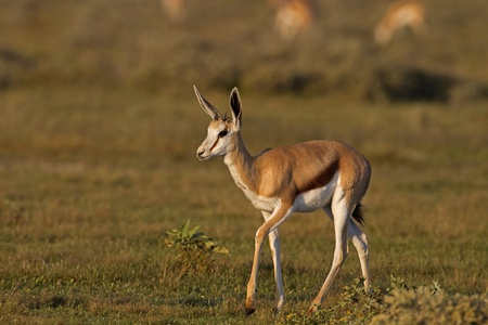 Close-up of Springbok walking in grass-field in early morning sunlight; Antidorcas marsupialis Stock Photo - 12772298
