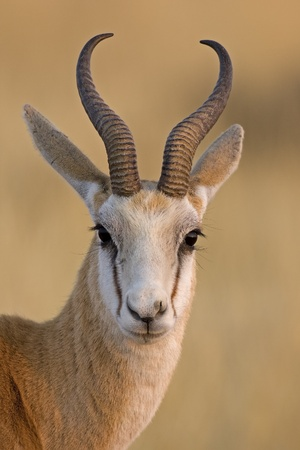 Springbok portrait; antidorcas marsupialis photo