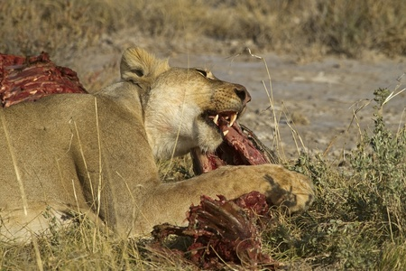 León de comer en un canal de Zebra, Panthera Leo Foto de archivo
