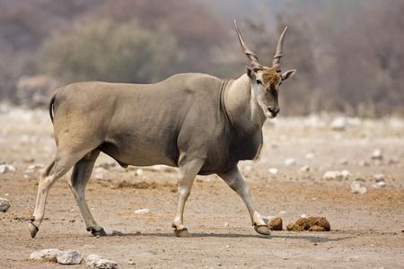 oryx: Eland bull walking on rocky terrain;Taurotragus oryx