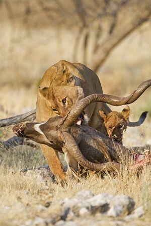 karkas: Vrouwelijke leeuw slepen Kudu karkas; Panthera leo, Etosha