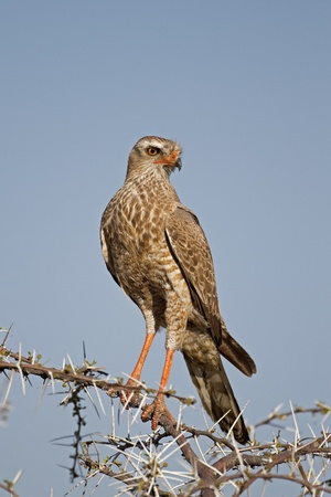 canorus: Close-up of Juvenile Southern Pale Chanting Goshawk perched on thorn twig; Melierax canorus Stock Photo