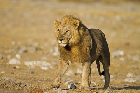 panthera leo: Primer plano de Hombre le�n caminando en campo abierto; Panthera leo; Etosha Foto de archivo