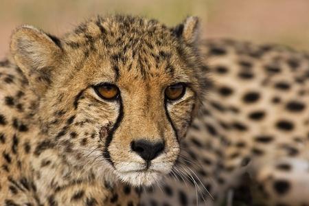 jubatus: Close-up portrait of Cheetah; Acinonyx jubatus; South Africa