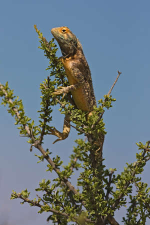 aculeata: Ground agama in tree; Agama aculeata; Kalahari desert Stock Photo