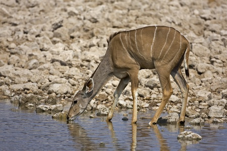 Young Kudu female at at waterhole; gelaphus strepsiceros Stock Photo - 12918159