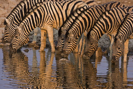 a Group of Burchells zebras drinking in late afternoon light; Equus Burchelli Stock Photo - 12918171