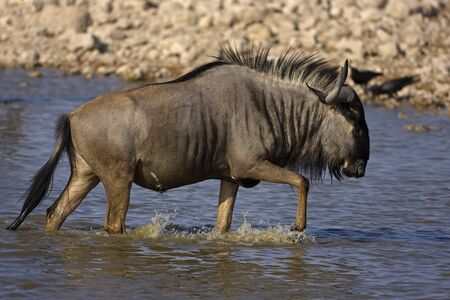 waterhole: Wildebeest walking in waterhole; Connochaetes taurinus Stock Photo