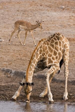 pozo de agua: Jirafas en el pozo de agua; Giraffa Camelopardis
