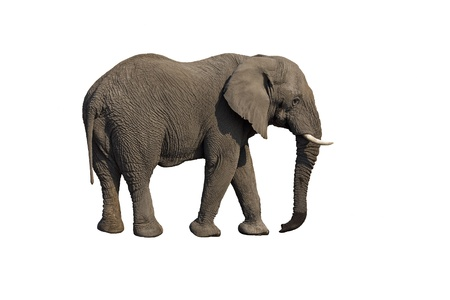 Elephant against a white background; Loxodonta Africana photo