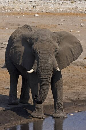 Close-up of an African elephant standing at waterhole; Loxodonta Africana Stock Photo - 12918205
