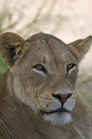 Close-up Portrait of female lion; Panthera leo Stock Photo - 12975231