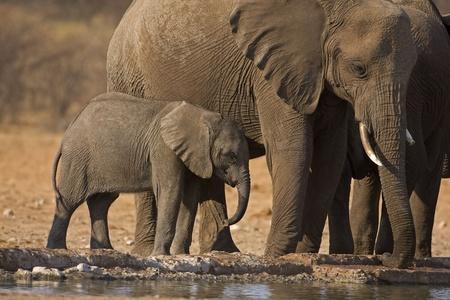waterhole: Elephants with baby at waterhole; Loxodonta Africana Stock Photo