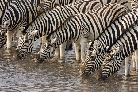 herbivore natural: A Group of Burchells zebras at waterhole; Equus Burchelli