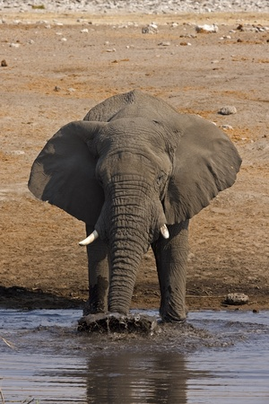 waterhole: Close-up of Elephant at waterhole blowing muddy water; Loxodonta africana