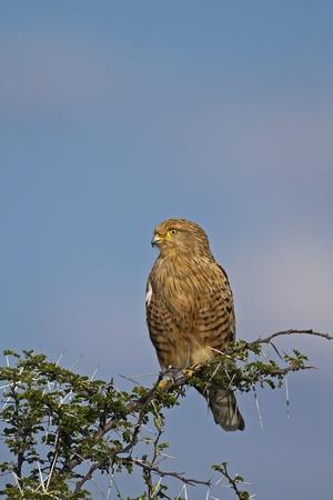greater: Greater Kestrel; Falco rupicoloides