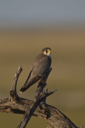 lanner: Lanner Falcon perched on dead tree;Falcon biarmicus Stock Photo