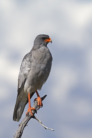 Close-up of Southern Pale Chanting Goshawk perched on dead tree; Melierax canorus Stock Photo - 12975447