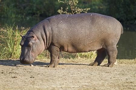 river bank:  Hippopotamus walking on river bank; hippopotamus amphibius Stock Photo
