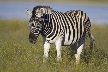 grassfield: Burchells zebra grazing in grass-field ; Equus Burchelli