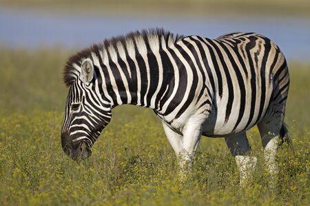 Burchells zebra grazing in grass-field ; Equus Burchelli