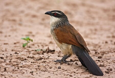birdlife: White-browed coucal; centropus superciliosus