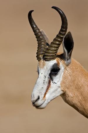antidorcas: Springbok portrait; antidorcas marsupialis; South Africa