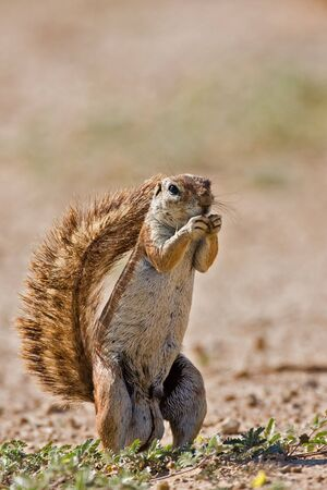 Ground squirrel; xerus inaurus; South Africa photo