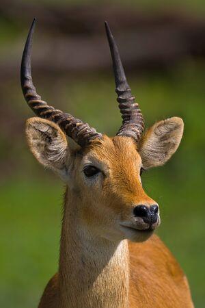 herbivore natural: Portrait of puku; Kobus vardoni; Botswana