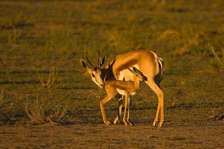 marsupialis: Springbok ewe grooming her lamb in late afternoon sunlight; Antidorcas marsupialis; South Africa Stock Photo