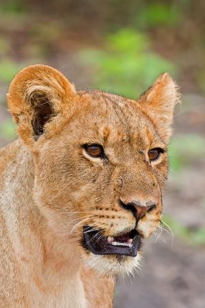 panthera leo: Retrato de leona, Panthera leo, Botswana