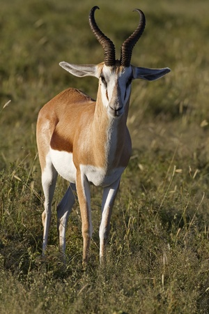 grassfield: Close-up of springbok standing in grass-field; Antidorcas marsupialis Stock Photo