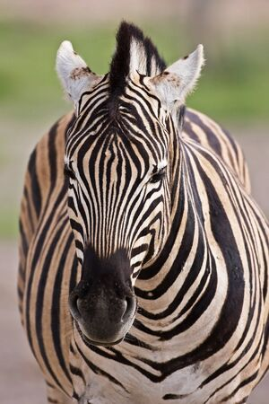 Burchells zebra; Equus Burchelli; South Africa