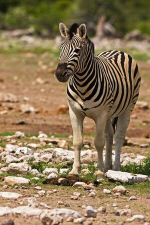 Burchells zebra; Equus Burchelli; South Africa Stock Photo - 13109583