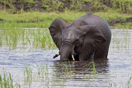 africana: Young elephant taking a bath; Loxodonta africana; Botswana Stock Photo