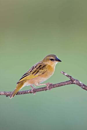 Female southern brown-throated weaver sitting on dead branch; Ploceus xanthopterus; Botswana Stock Photo - 13109209
