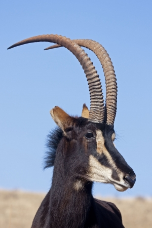 sable: Portrait of Sable Antelope; Hippotragus niger