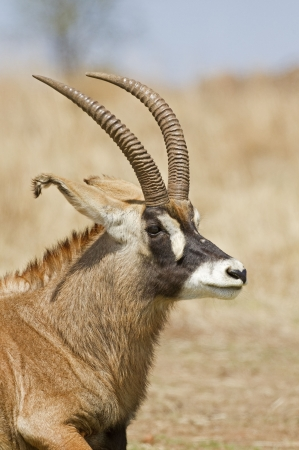 Portrait of Roan Antelope; Hippotragus equinus photo
