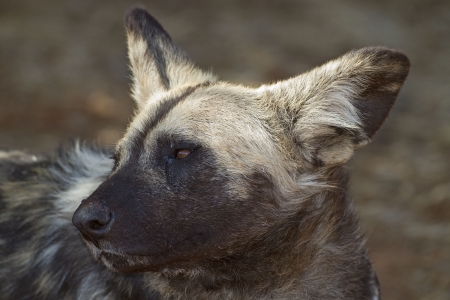 Portrait of African Wild dog; Lycaon pictus photo