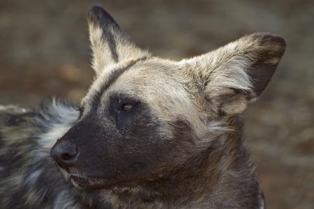 lycaon pictus: Portrait of African Wild dog; Lycaon pictus