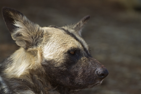 blotched: Portrait of African Wild dog; Lycaon pictus