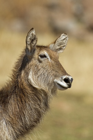 Close up Portrait of waterbuck, Kobus ellipsiprymnus photo