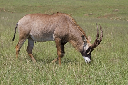 roan: A Roan antelope grazing in green grassland; Hippotragus equinus